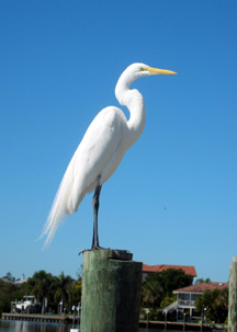 White Egret checks us out on the dock
